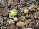 「春の芽吹き情報♪」画像