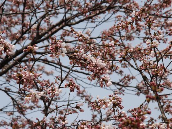 2014/04/22 15:43/4.22本日の桜開花状況♪