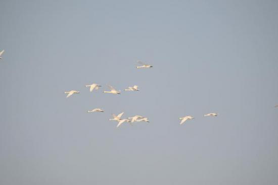 2012/02/29 21:12/飛び立つ白鳥の群れ