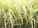 「【今年も豊作!新米の季節です♪..」画像