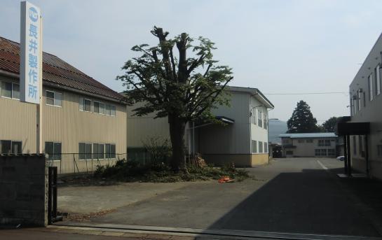 2011/09/16 13:45/弊社の看板樹木が散髪