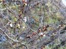 「雉のお散歩」画像