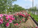「ぼたん園が開花しました」画像