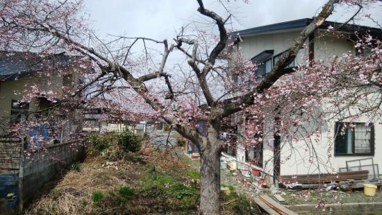 2017/04/14 14:19/桜が咲きました。