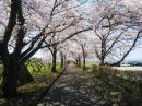 「まほろばの緑道 桜満開です。」画像