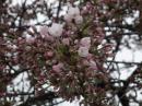 「4月25日烏帽子山公園標本木開..」画像