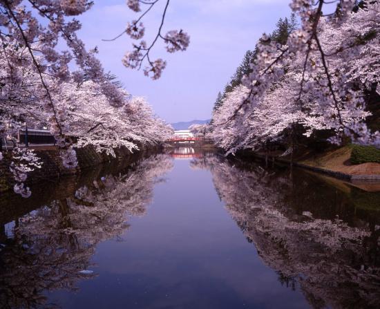 2020/03/16 18:48/2020年松が岬公園(上杉神社)桜情報