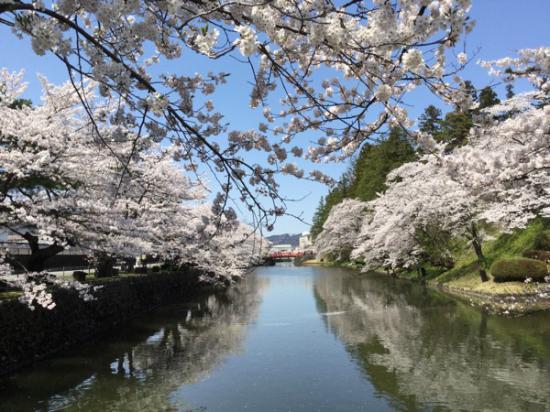 2015-4-23 松が岬公園の桜:2016/04/07 08:01