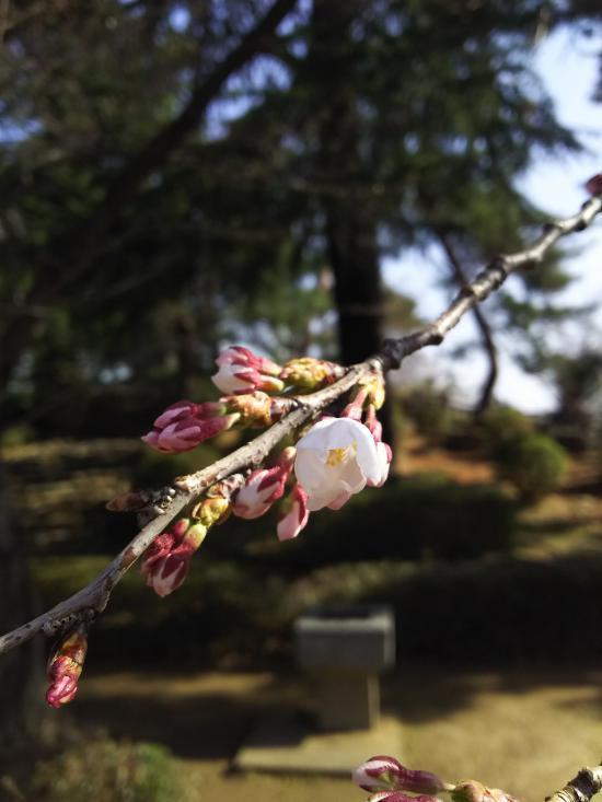 2018/04/10 08:29/2018年松が岬公園(上杉神社)桜情報4月10日 咲き始め