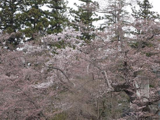 2018-4-11 桜、咲き始めです。:2018/04/12 07:10