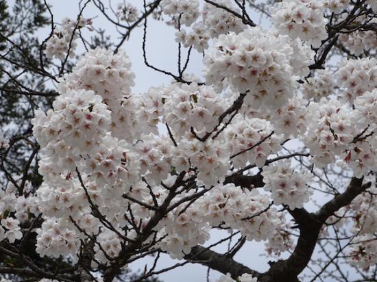 2018-4-14 桜:2018/04/14 17:43