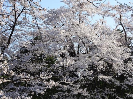 2018-4-19 桜は見頃です。:2018/04/19 09:24