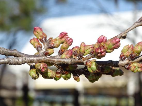 2020-4-3 松が岬公園の桜:2020/04/03 18:03
