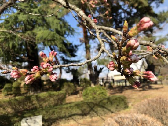 2020-4-7 上杉神社の桜:2020/04/07 17:48