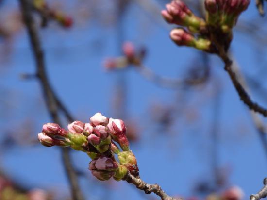 2020-4-7 上杉神社の桜:2020/04/07 17:50