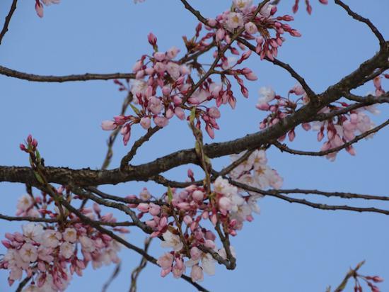 2020-4-7 上杉神社の桜:2020/04/08 07:58