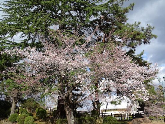 2020-4-14 上杉神社の桜:2020/04/14 17:19