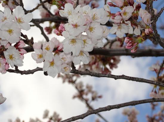2020-4-14 松が岬公園の桜:2020/04/14 17:26
