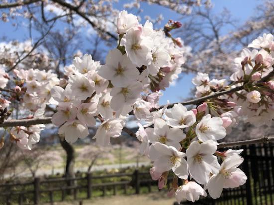 2020-4-16 上杉神社の桜:2020/04/16 17:39