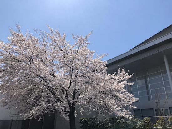 2020-4-16 「伝国の杜」の桜:2020/04/16 17:42