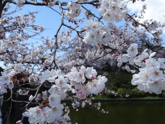 2020-4-16 松が岬公園の桜:2020/04/17 08:43