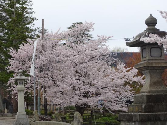 2020-4-23 上杉神社の桜:2020/04/23 19:37