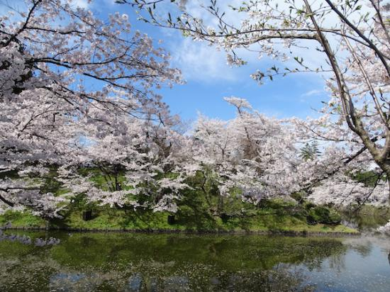 2020-4-24 上杉神社の桜:2020/04/25 08:25