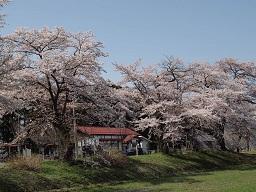2013/04/21 23:33/4月28日の開花予想in成田駅