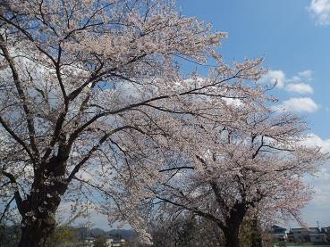 2013/04/28 21:35/成田駅の桜は満開だ!