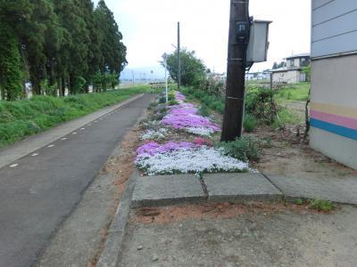 2015/06/08 22:08/芝桜に実家を思い出しました