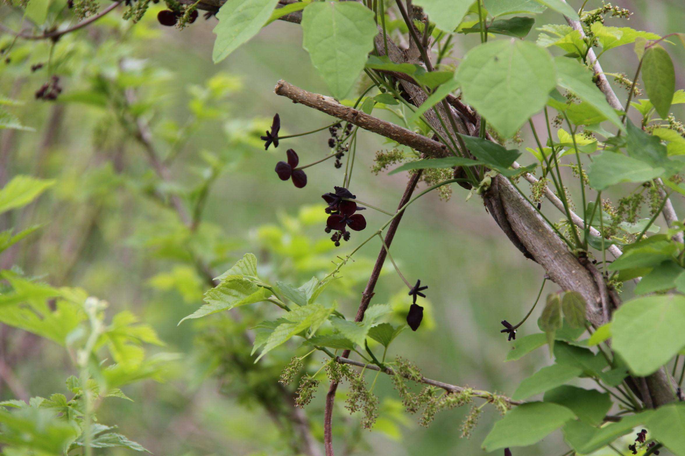 「アケビ どこかに愛嬌のある花」画像